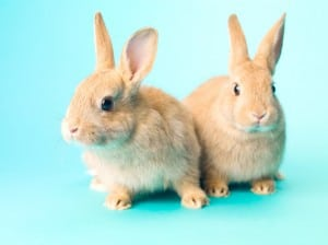 two golden rabbits sitting